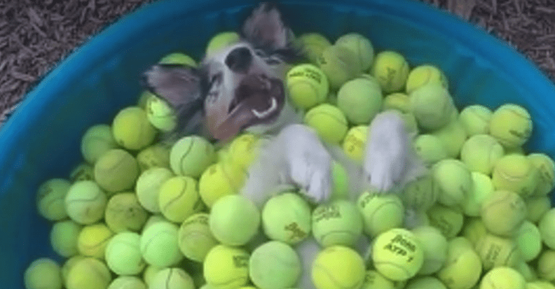 dogs in bucket of recycled tennis balls